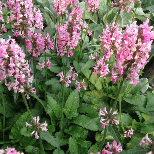 Stachys officinalis 'Pink Cotton Candy' - #1