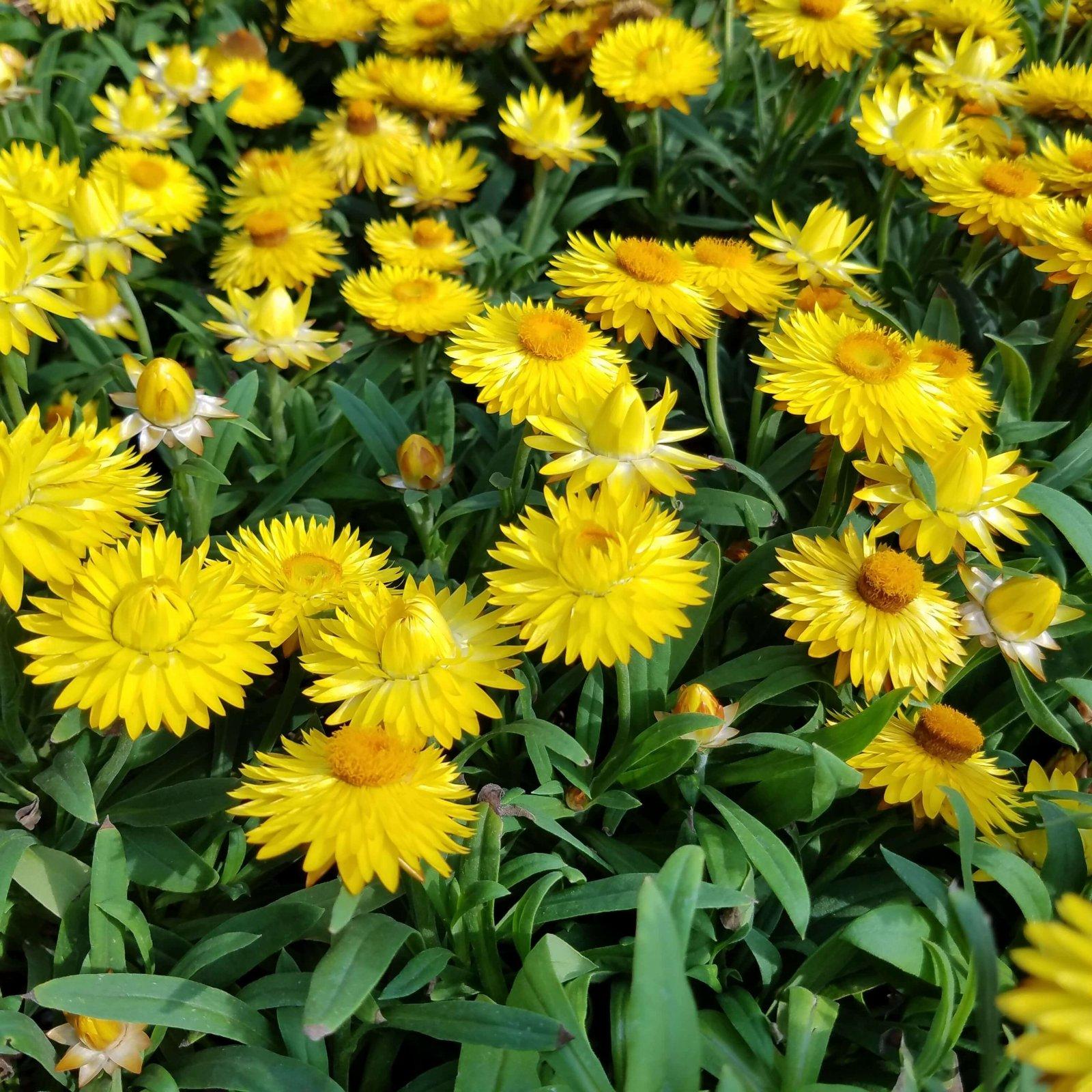 Bracteantha 'Dreamtime Jumbo Yellow' - 4 1/2