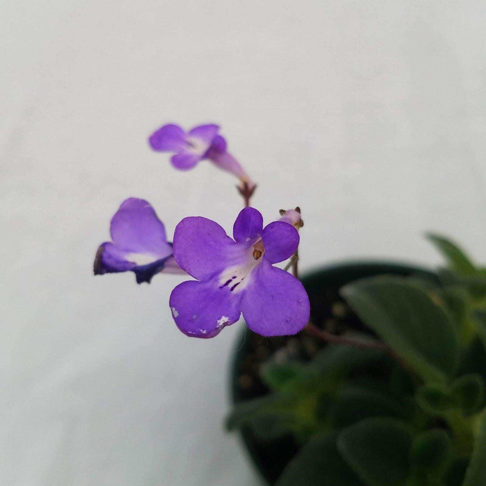 Streptocarpella saxorum - 4 1/2