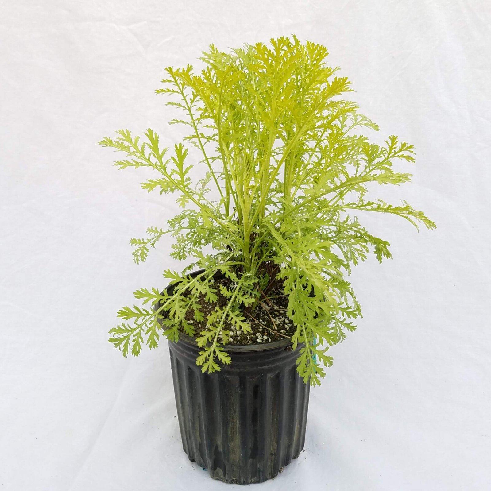 Tanacetum vulgare 'Isla Gold' - #1