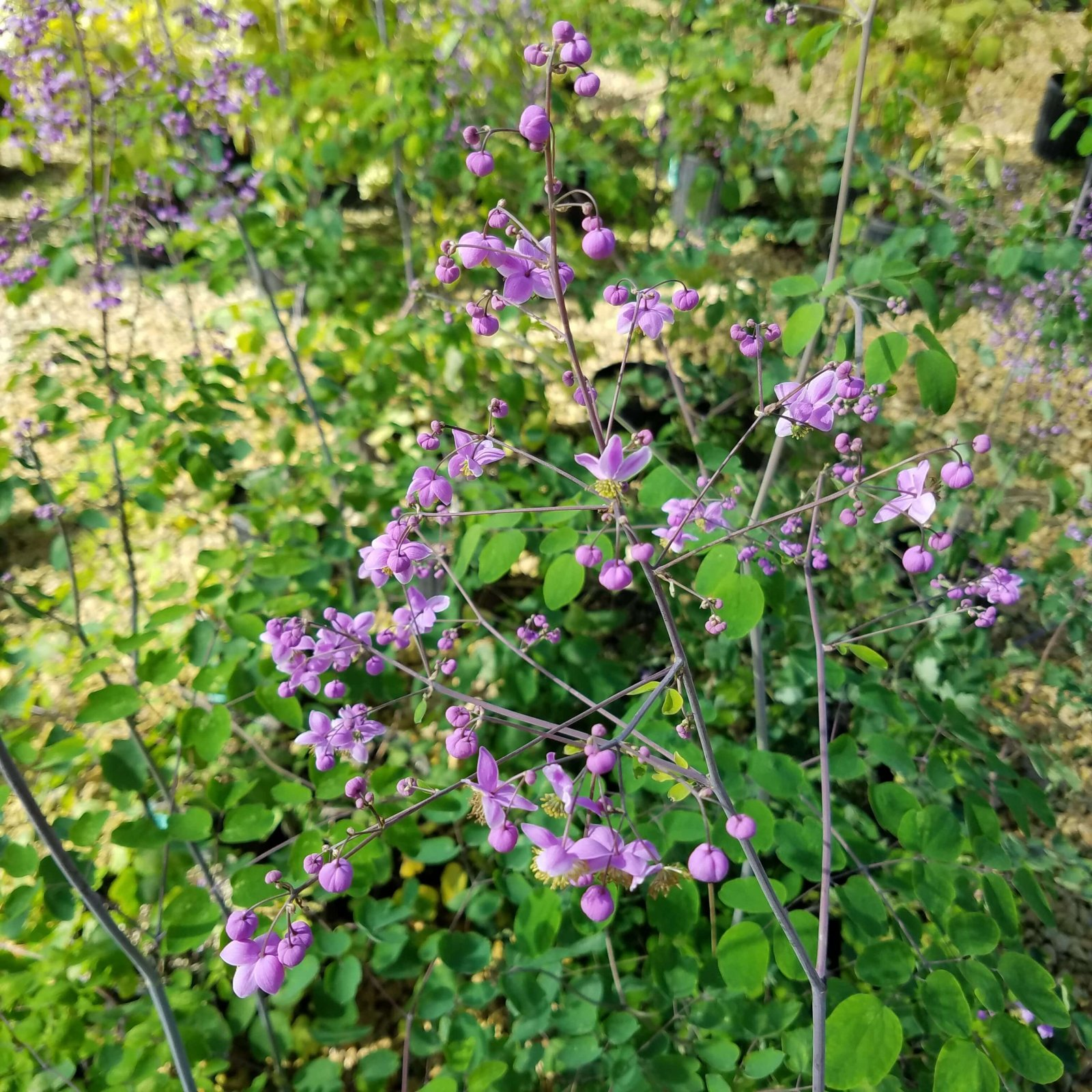 Thalictrum rouchebrunianum - #2