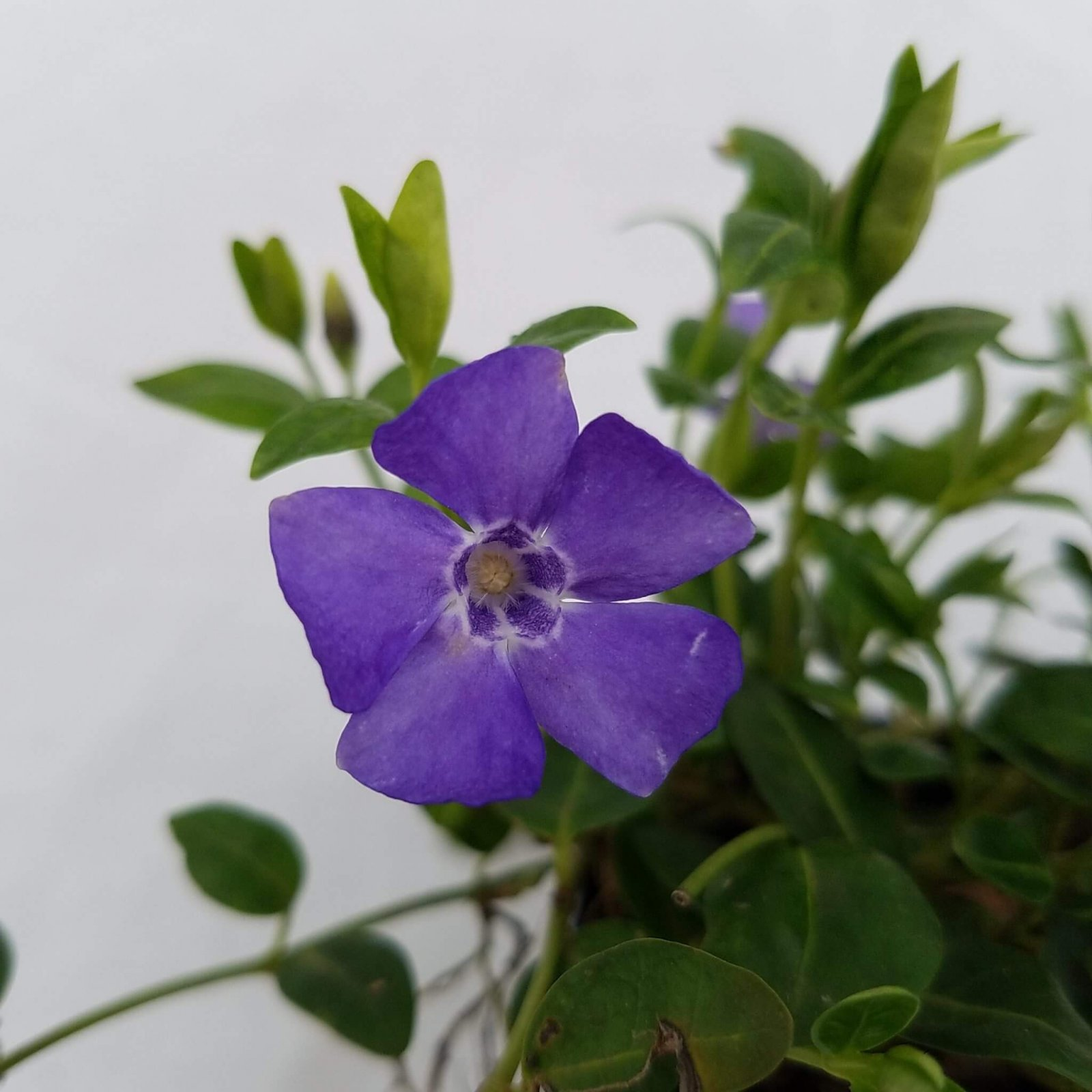 Vinca minor 'Dart's Blue' - 3.0pot