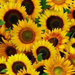 Elizabeth'S Studio Sunflowers - All Over