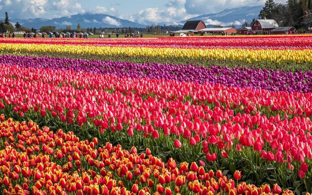Skagit Valley Tulip Fileds