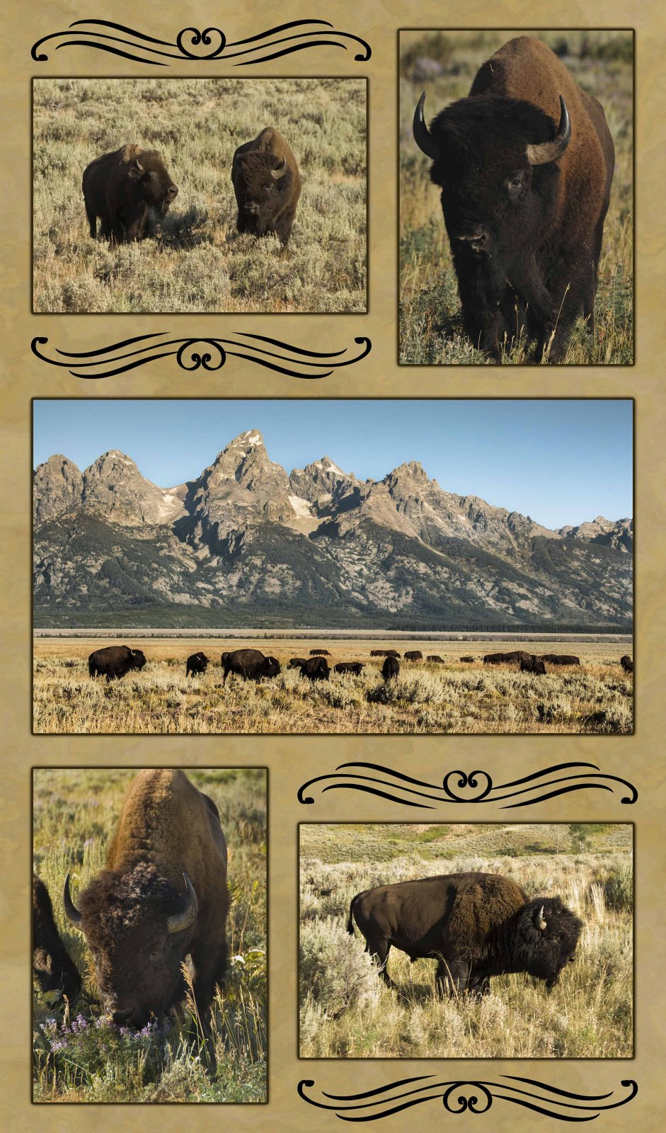 ANI20 Grand Teton Bison Composite