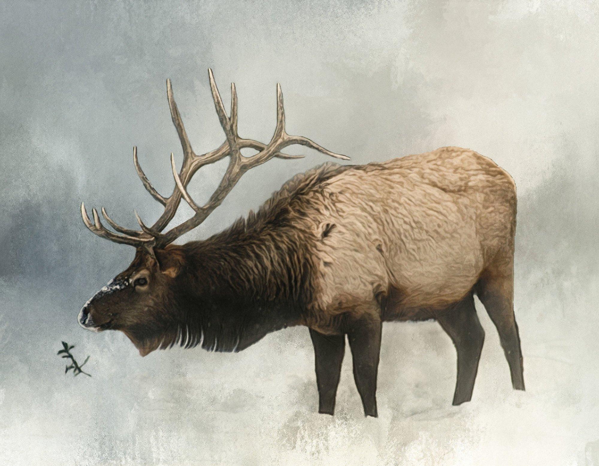ANI30 Bull Elk in Winter