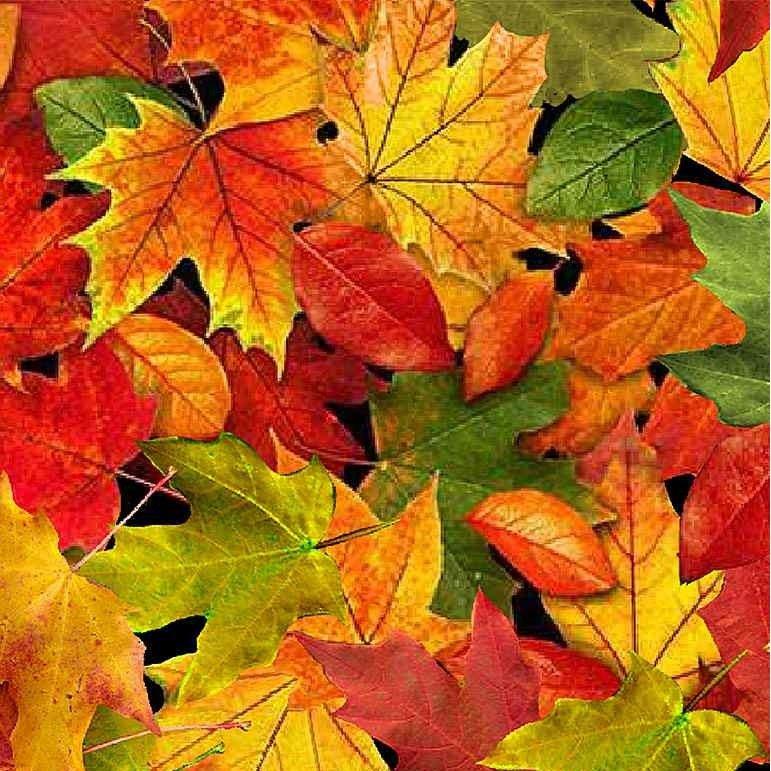 Timeless Treasures Fall Foliage C8649 Multi Autumn Large Leaves