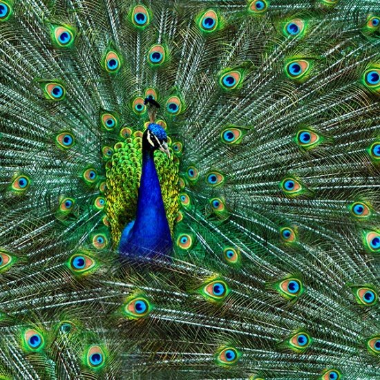 Peacock - Proud as a Peacock by Hoffman