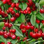 Berry Good - Cherries