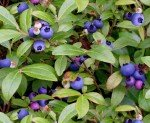 Berry Good - Wild Blueberries