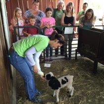 Meet the sheep-bottle feeding lambs