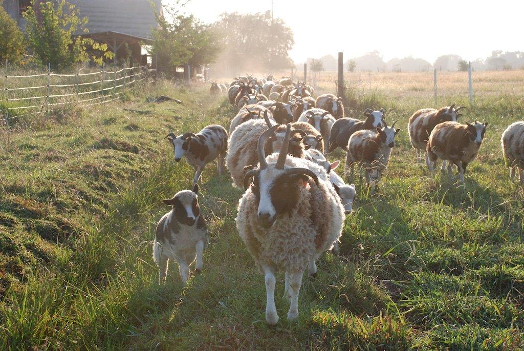 Gourmet Lamb