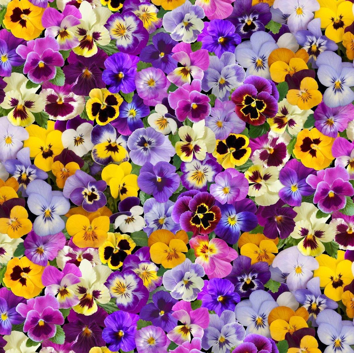 Spring Beauty...Pansies