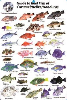Cozumel, Belize, Honduras Reef Fish Guide