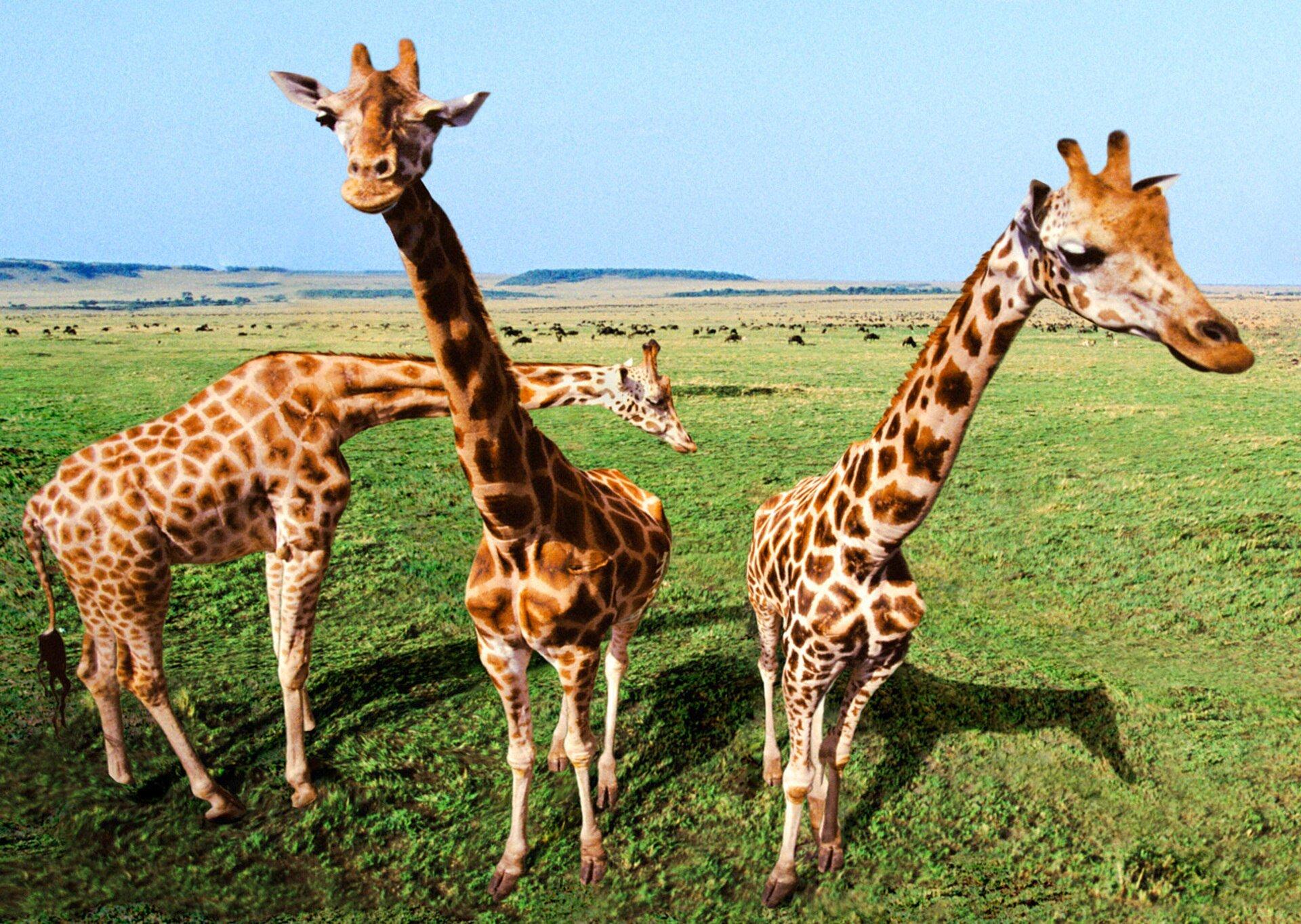 Authentic Cards Giraffe Inquisitive