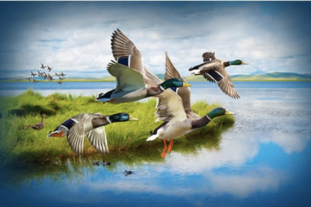 Mallard Call of the Wild 29 x 44 Panel