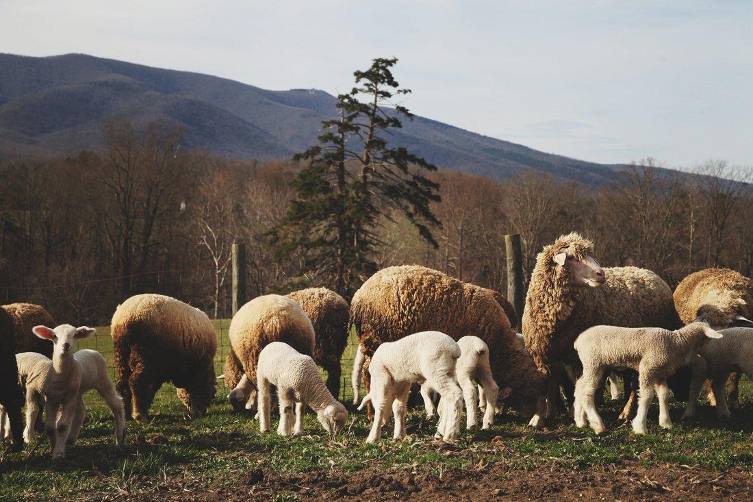 Cestari Sheep