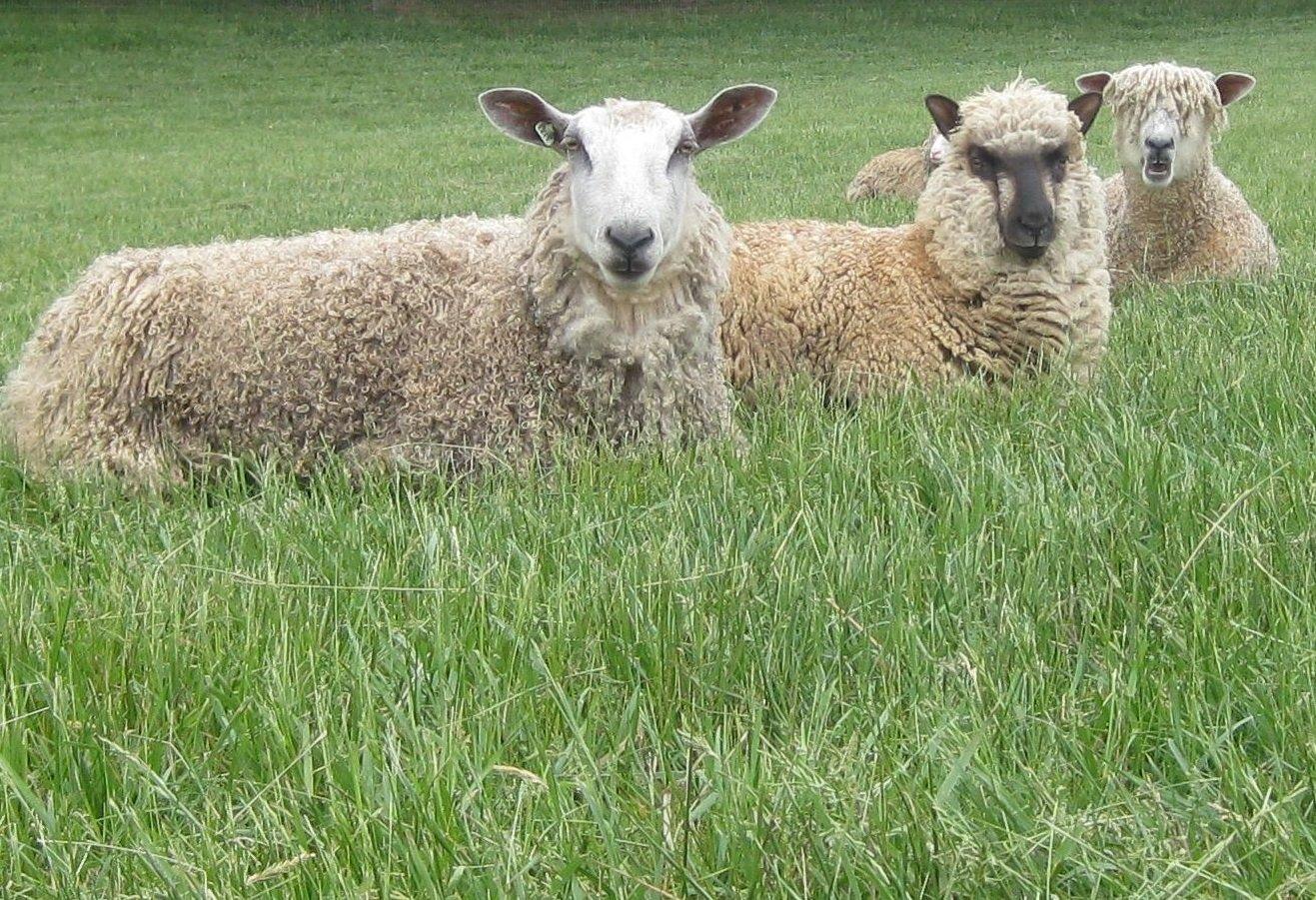 CSA Name a Lamb