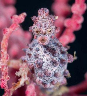 image of pygmy seahorse