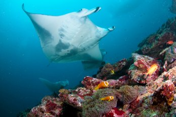 image of manta ray