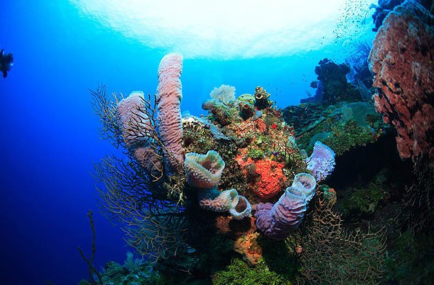 Image of sponges on Roatan wall diving