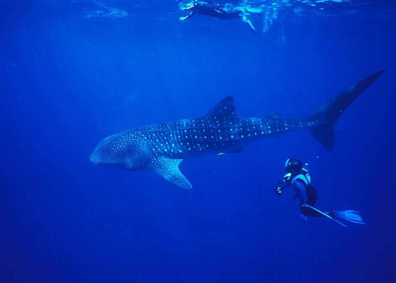 Image of whale shark Roatan