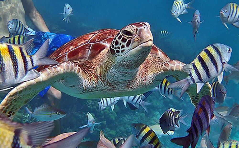 Image of Belize Scuba Diving Turtle