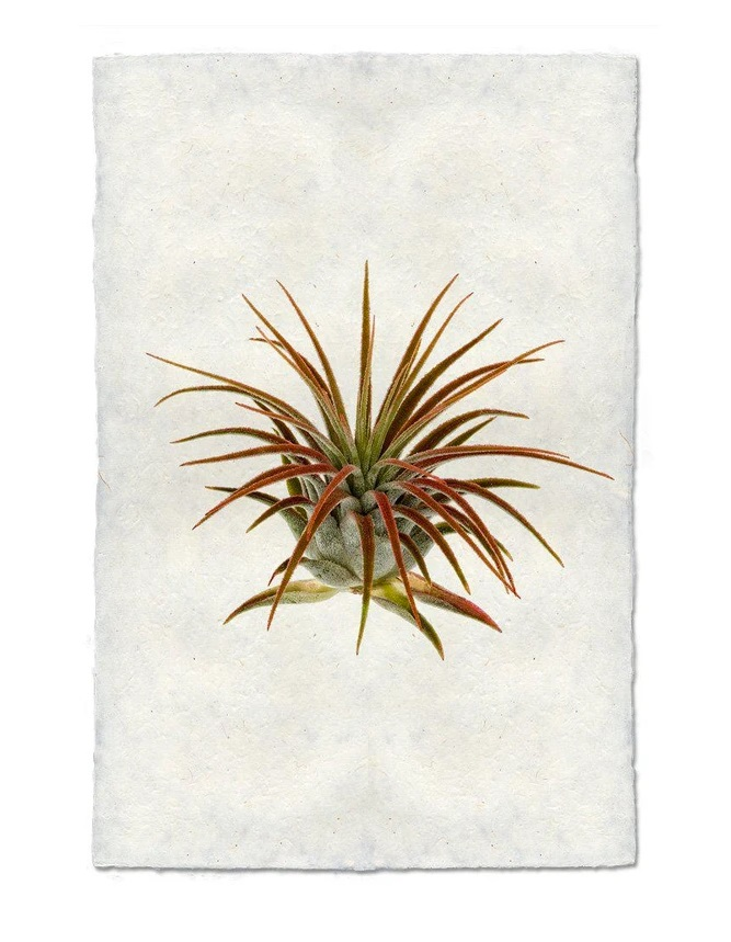 Air Plant #1 9x14 Print on Nepalese Paper