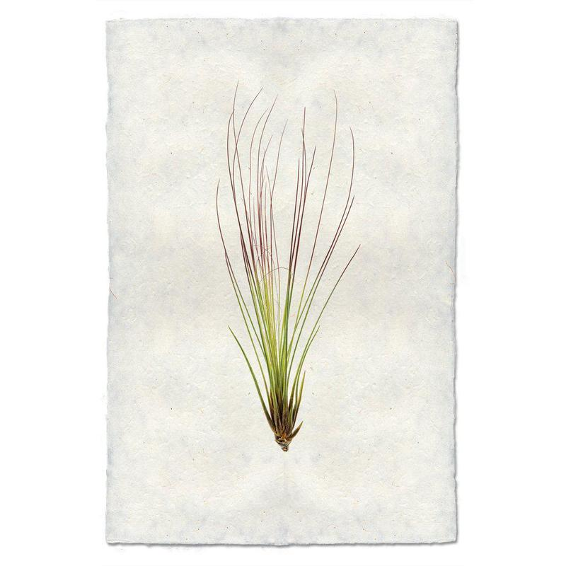 Air Plant #7 9x14 Print on Nepalese Paper