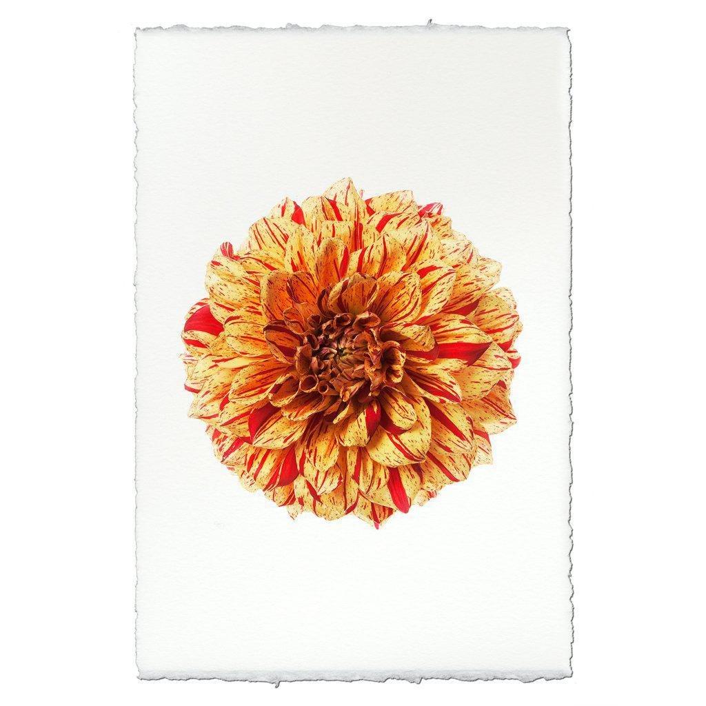 Gloriosa 20x30 Print on English Watercolor Paper