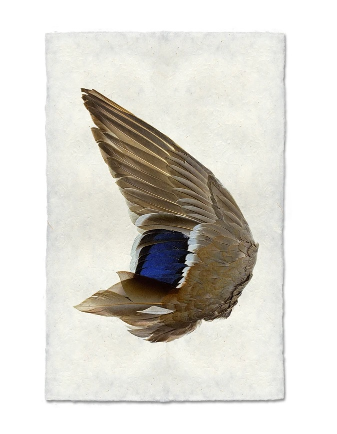 Mallard Duck Wing 9x14 Print on Nepalese Paper