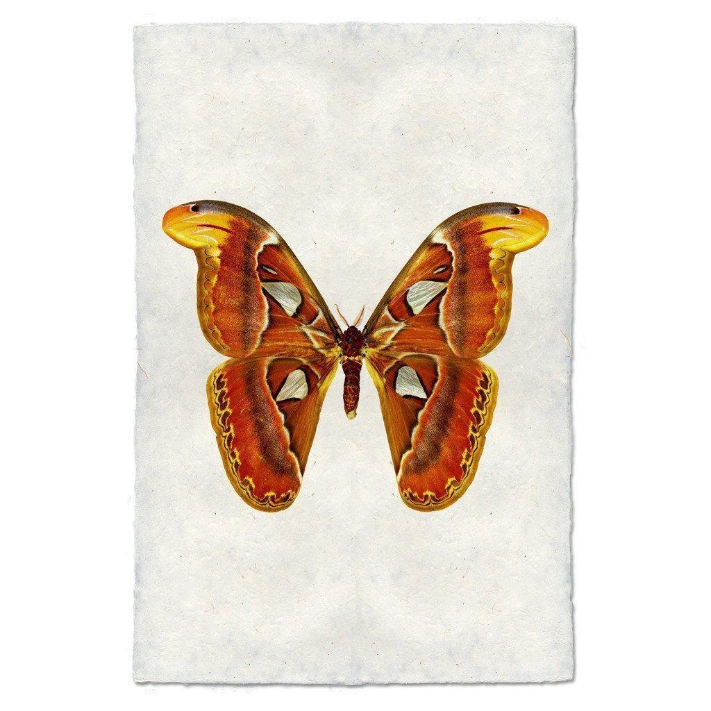 Papilionoidea #2 Print (Attacus Atlas Moth)
