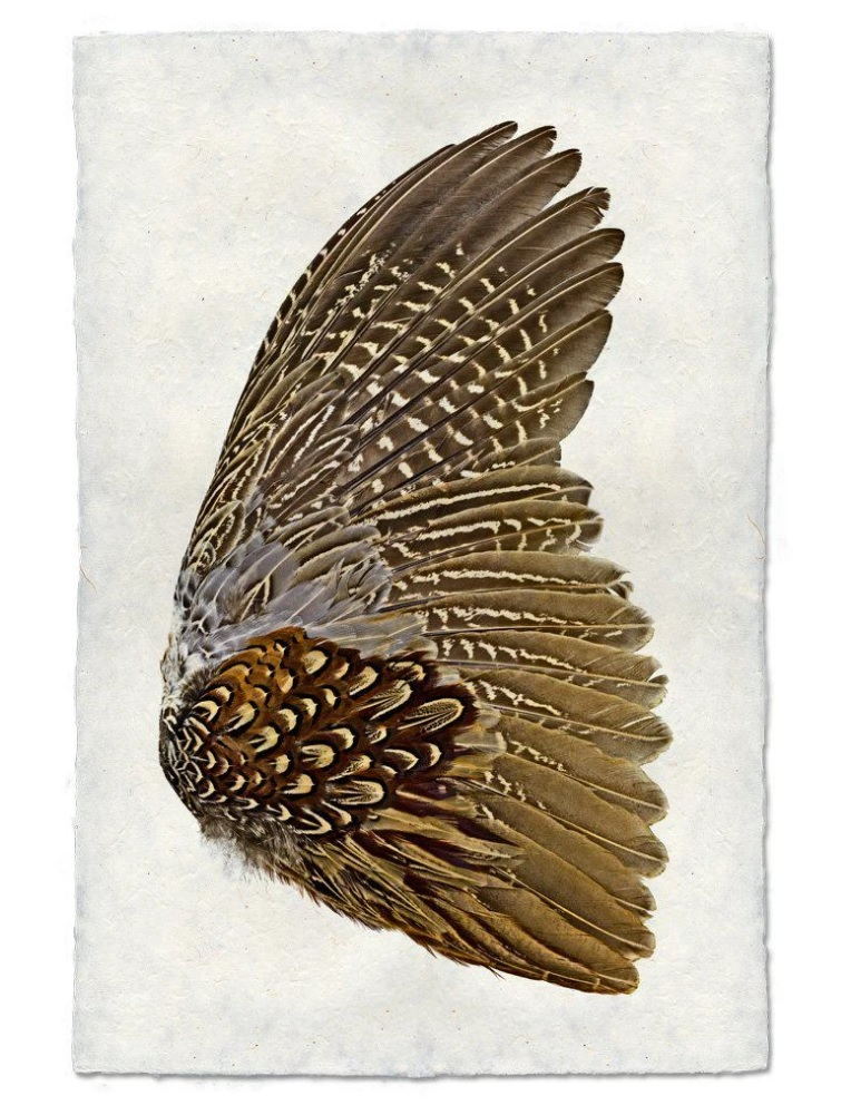Pheasant Wing 9x14 Print on Nepalese Paper (Rt)