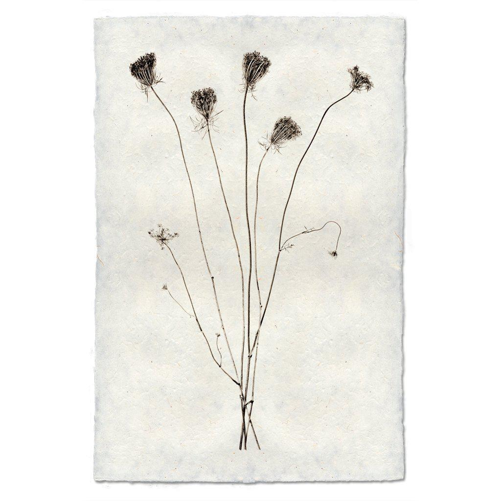 Queen Anne's Lace 20x30 Print on Nepalese Paper