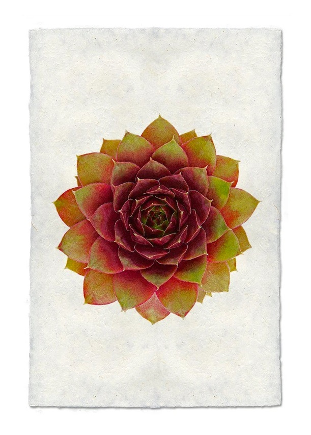 Succulent #3 9x14 Print on Nepalese Paper