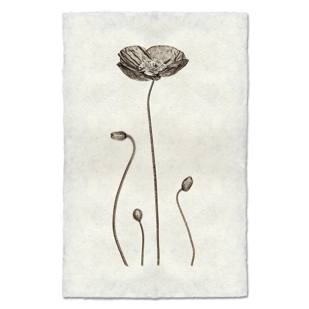 Iceland Poppy Print