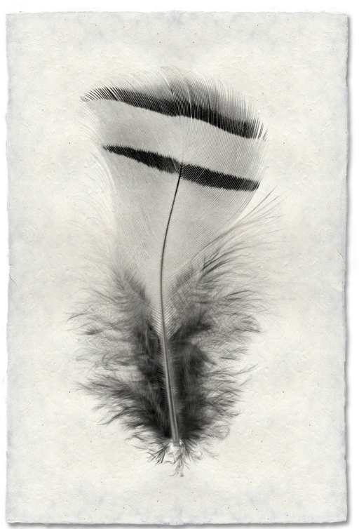 Feather Study #15 20x30 Print on Nepalese Paper