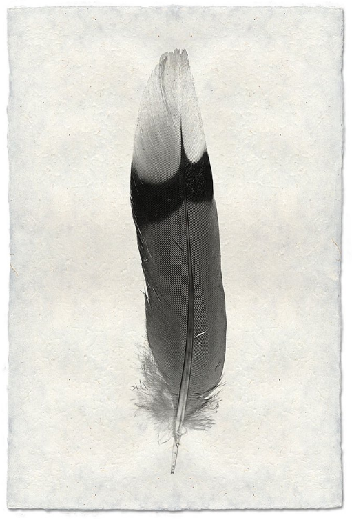 Feather Study #9 20x30 Print on Nepalese Paper