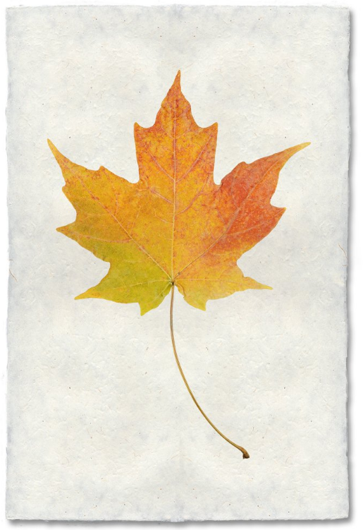 Maple 20x30 Print on Nepalese Paper