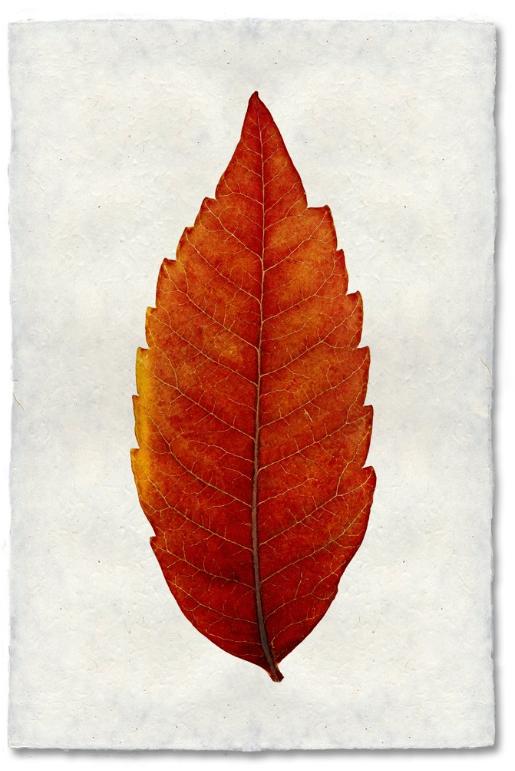 Sumac 20x30 Print on Nepalese Paper