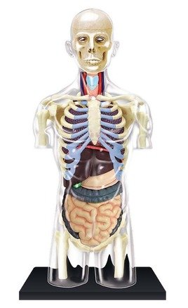 4D Human Anatomy Transparent Torso Model