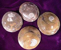Small Ammonite Fossil 2