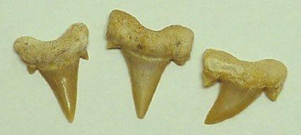 Sharks Teeth with cards