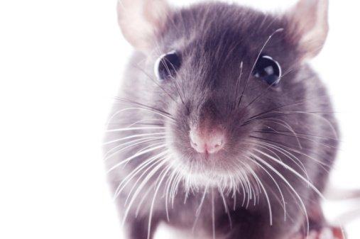 Purple Rat