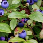 Berry Good-Green 151