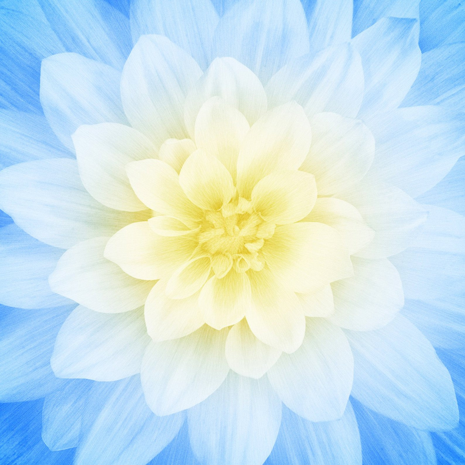 Hoffman Dream Big French Blue Floral 43 Square Digital Panel - Sold by the Panel - Ships Today