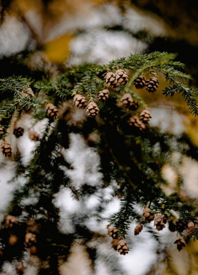 Acorns in a snowy tree