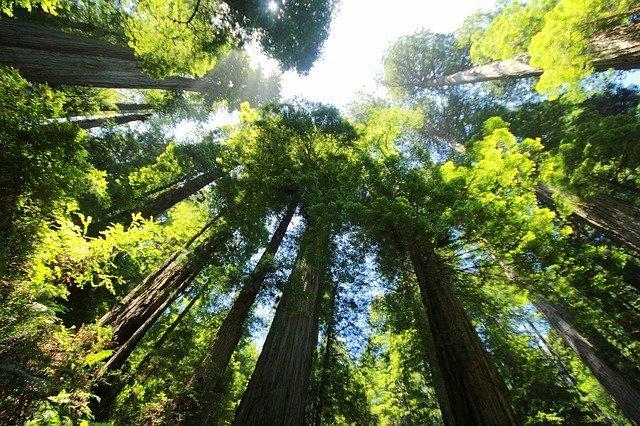 Redwood Tree Seed Kit