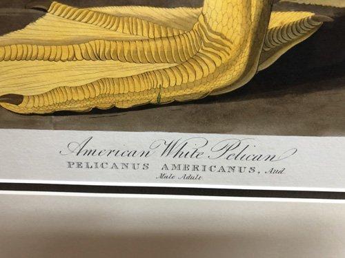 Description label of Pelikan Print by Audubon