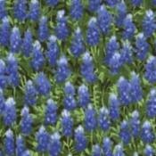 32366-11 Wildflowers Dar k Blue Field of Bluebonnets